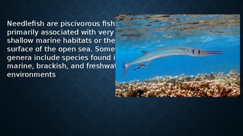 info on the Needlefish