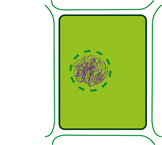 mitosis phases of plant pictures