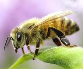 my original rhyming poem about honey bees and their characteristics