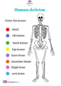 skeleton anatomy coloring worksheet