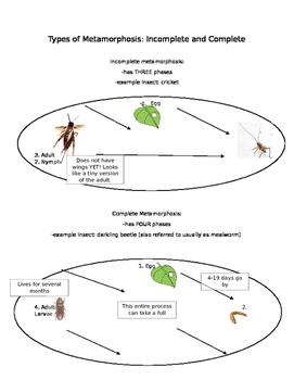 types of metamorphosis notes