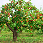 Apple Tree Honey