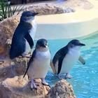 Aussie Penguin Buddies