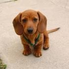 Bret Talley Dachshund Educational Resources
