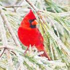Cardinal Creations