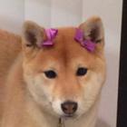 Classy Shiba