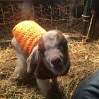 Goat Momma