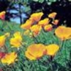 Golden Poppy