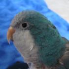 Little Miss Bluebird