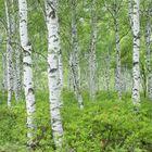 Mrs Birch Tree