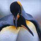 Passionate Penguin