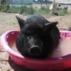 Petunia Pig's Teaching Toolbox