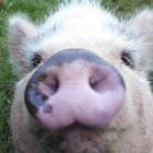 Piggy Potpourri