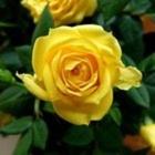Rose K DiGennaro