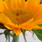 Sunflower Literacy