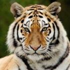 Tales of a 1st Grade Tiger