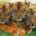 Teaching Tigers