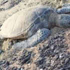 Teaching Turtle