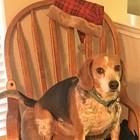 The Reading Beagle