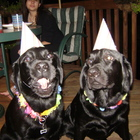 Two Black Labs