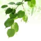 Under the Linden Leaf