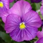 Virginia Violet