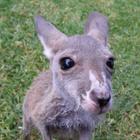Wallaby Wonders