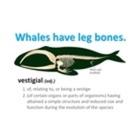 Whales Have Leg Bones