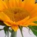 Sunflower Literacy